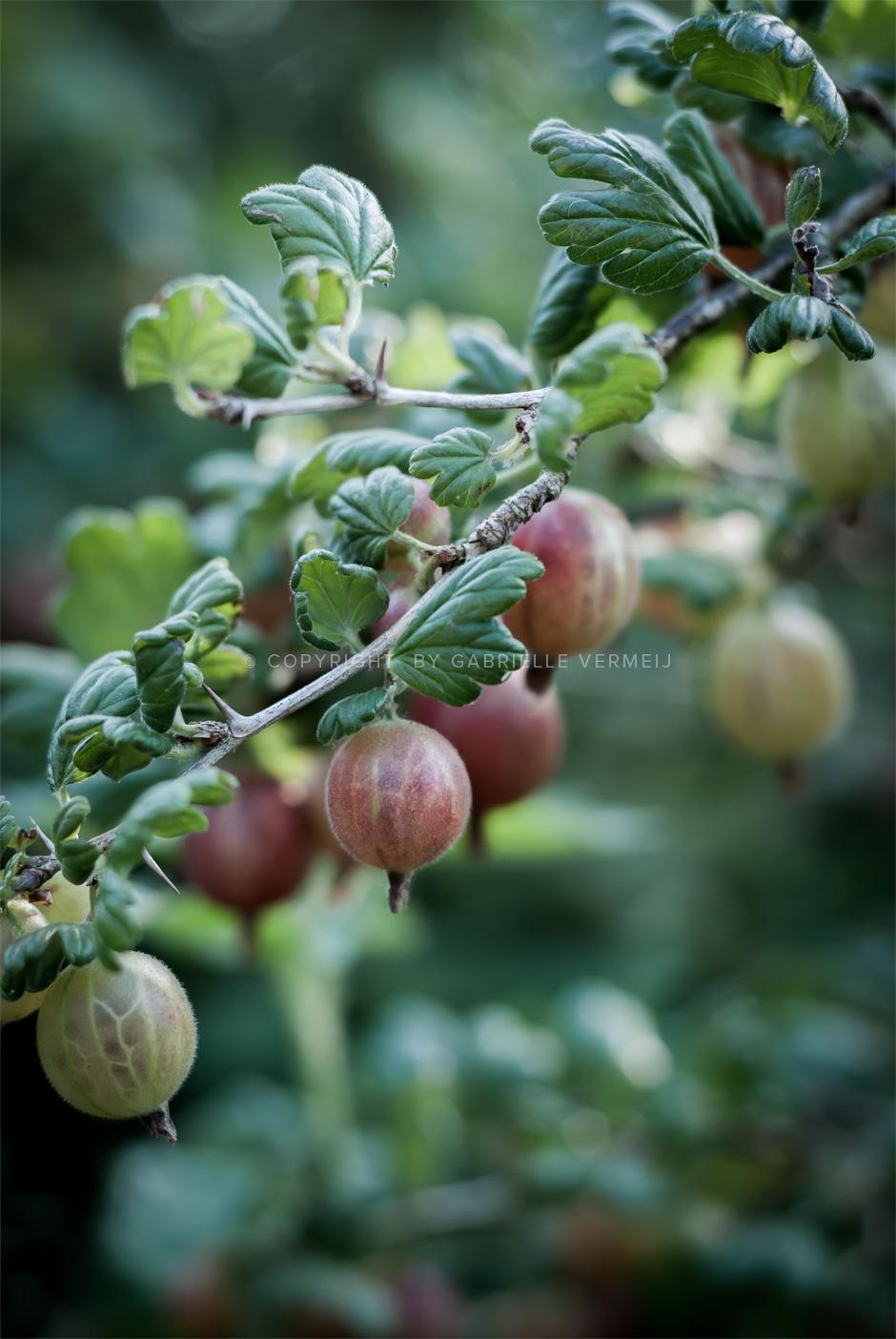Fresh gooseberries on a branch by Gabrielle Vermeij