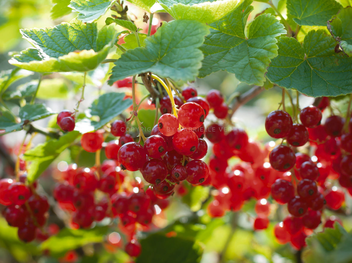 Red currants on a branche