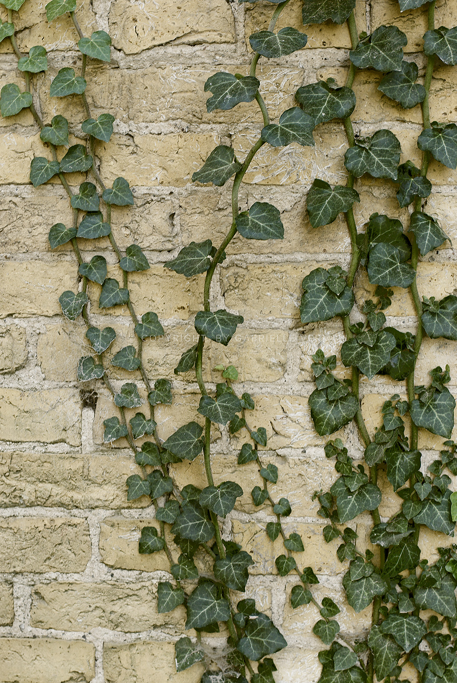 Ivy on an old farm wall
