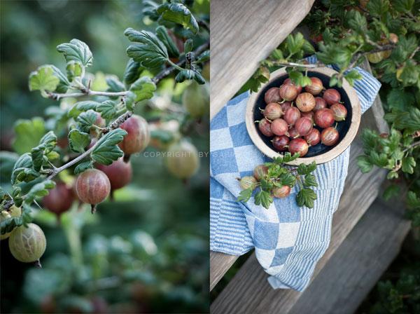 A bowl of freshly picked gooseberries